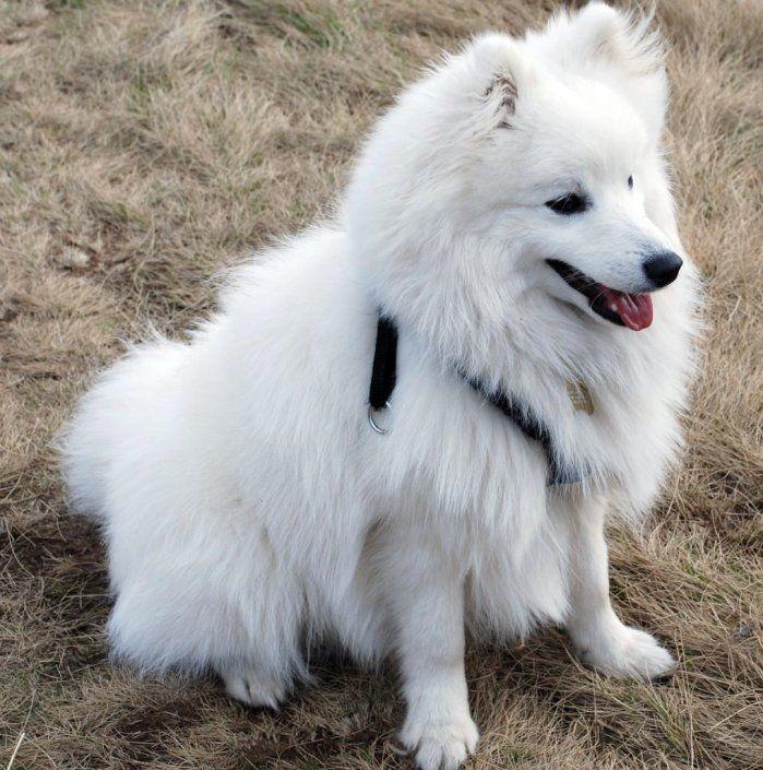 собака породы  Американский эскимосский той-шпиц. фото