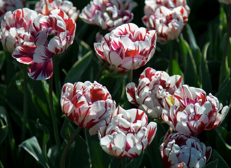 Фото тюльпанов разных сортов продаже