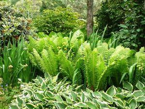 Папоротник-колдовское растение.Использование в ландшафтном дизайне. Ярмарка Мастеров - ручная работа, handmade.
