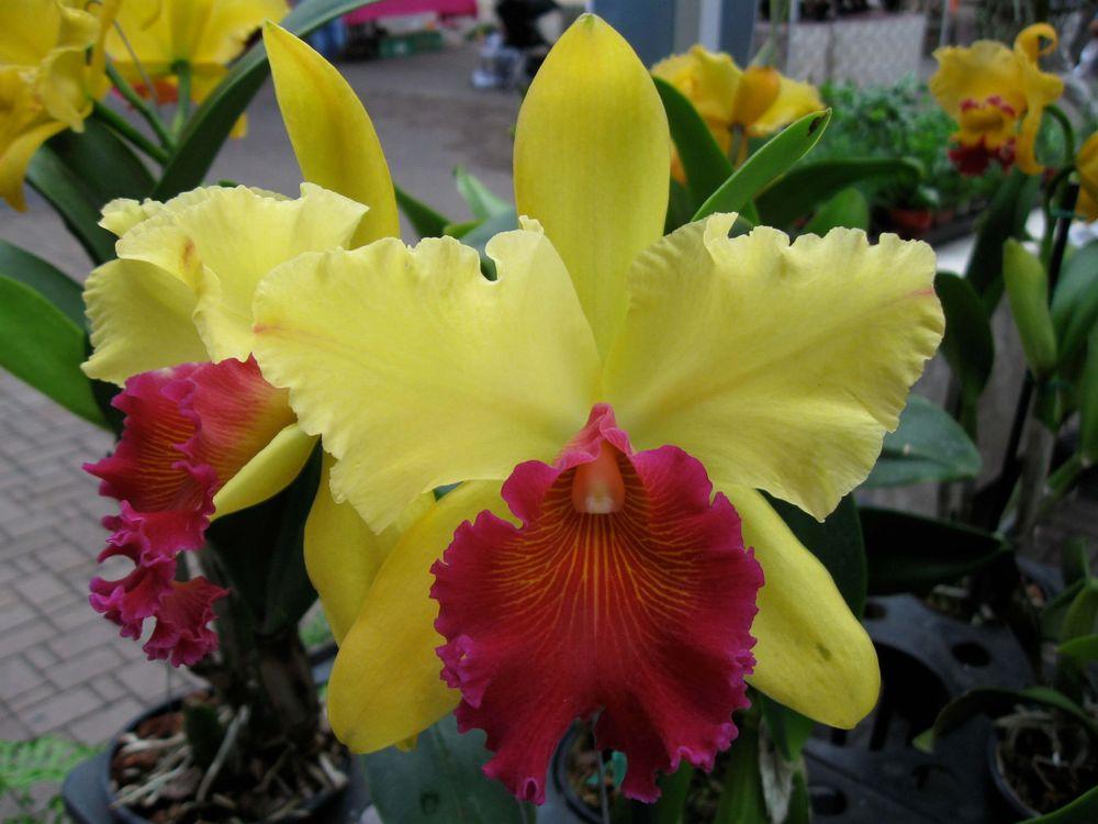 орхидея для лица