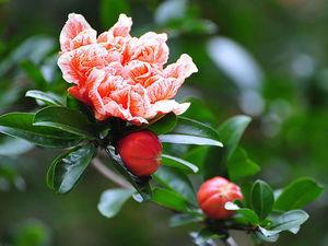 "Рисуем акварельную картину ""Цветок Граната"". Ярмарка Мастеров - ручная работа, handmade."