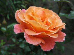 Ах, Эти Розы -  Мои Красавицы!!!!. Ярмарка Мастеров - ручная работа, handmade.