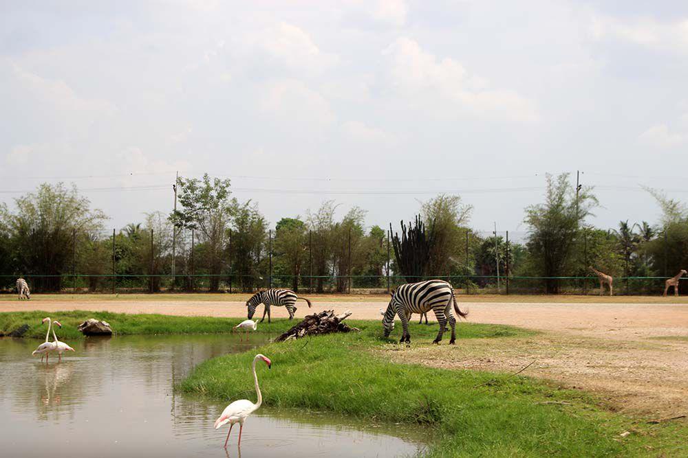 Жирафы гуляли вместе с зебрами на одной территории,как это и должно происходить в жизни. Не одной зебры в кадр не попало,они разбегались прочь,как только мы делали шаг в их сторону. А вот жирафы напротив - подходили,любопытствовали, засовывали голову в машину, облизывали волосы, просили что-нибудь вкусненькое. У нас была папайя. Нам без ножа пришлось разделять ее ногтями. Кто знает консистенцию папайи тот поймет,что дело это не из приятных. Руки липкие,оранжевые. Но жирафы быстро обмыли нам их своими слюнями. Не знаешь,что лучше)))