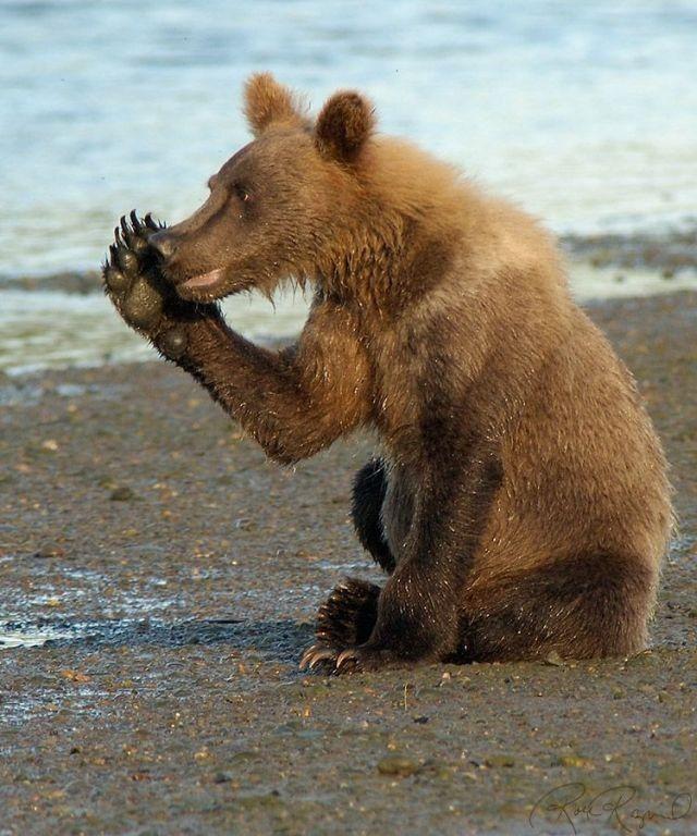 мишки, медведь тедди