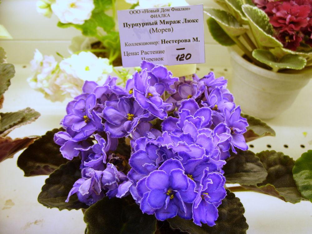 розы фиалка тирский пурпур фото живем