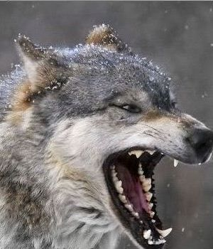 амулет, зуб волка