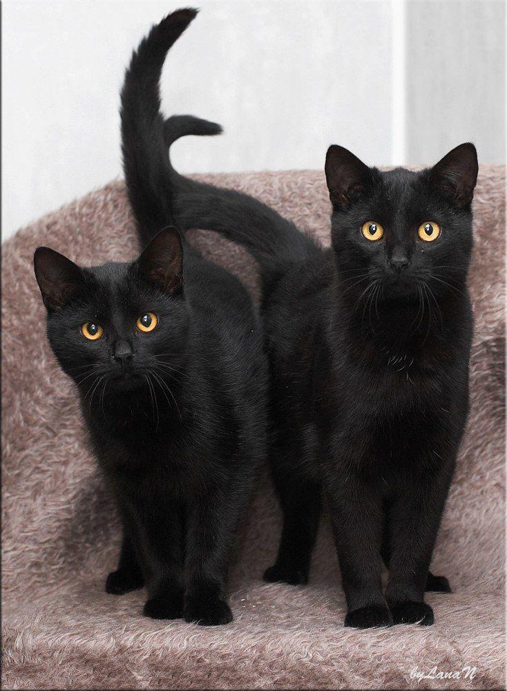 работ картинка двух черных кошек можно довольствоваться