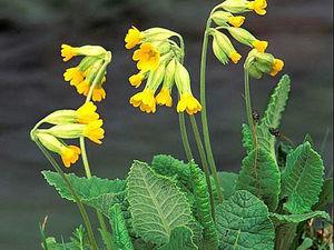 Весенняя Ботаника: Первоцвет. Ярмарка Мастеров - ручная работа, handmade.