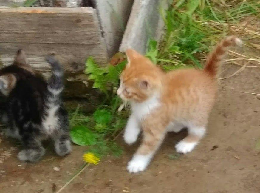 в добрые руки, красивые котята