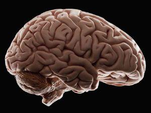 Мы и мозг (отвлечение от тем ярмарки, просто интересно и познавательно) | Ярмарка Мастеров - ручная работа, handmade