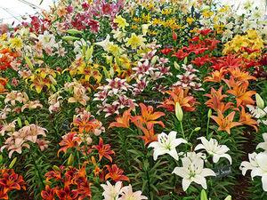 Любимые лилии. Разнообразие цветов и оттенков. Ярмарка Мастеров - ручная работа, handmade.