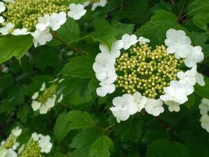 После дождичка в субботу ) Фотографии цветения и новой шали — Березовые Листья. Ярмарка Мастеров - ручная работа, handmade.