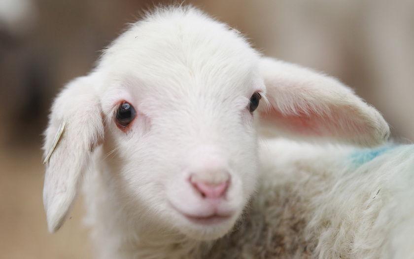 деревня, животное, Овца обои на рабочий стол и картинки 40036