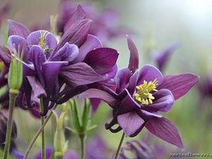 Аквилегия — цветок эльфов. Ярмарка Мастеров - ручная работа, handmade.