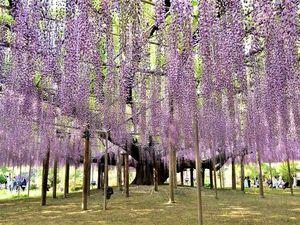 Цветения глицинии ждут в японской префектуре в ближайшие дни. Ярмарка Мастеров - ручная работа, handmade.