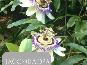 Ботанический разбор цветка Пассифлоры. Ярмарка Мастеров - ручная работа, handmade.