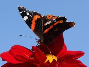 Бабочки на георгинах. Ярмарка Мастеров - ручная работа, handmade.