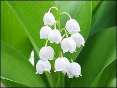 гороскоп, цветы, цветок, цветочный, май, ландыши, ландыш, характер, белый, красивый