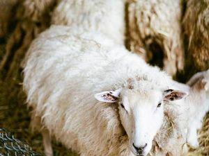 Ферма Black Thorn: как стригут овец в американской глубинке. Ярмарка Мастеров - ручная работа, handmade.