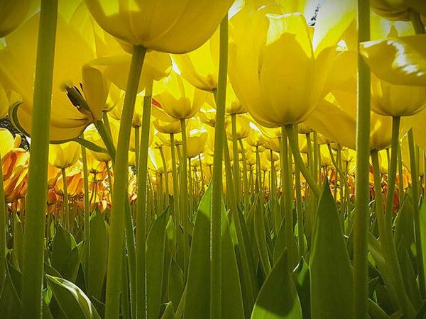 коллекция Fanfan la Tulipe | Ярмарка Мастеров - ручная работа, handmade