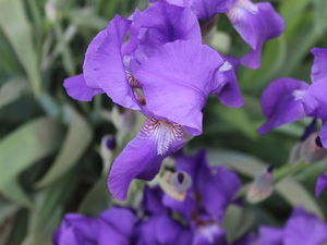 Касатик-радужный цветок | Ярмарка Мастеров - ручная работа, handmade