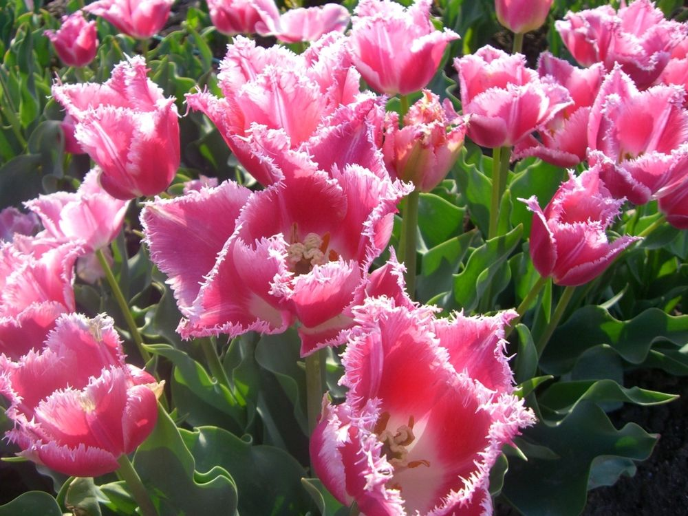 коулмэн выкладывался тюльпаны фото всех сортов нажать название