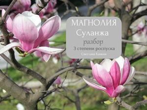 Ботанический разбор цветка Магнолии Суланжа. 3 степени роспуска. Ярмарка Мастеров - ручная работа, handmade.