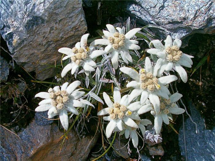 гороскоп, цветы, цветочный, зима, эдельвейс, экзотика, горы, характер, декабрь, новый год, легенда, надёжность