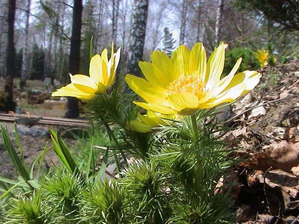 Весенняя Ботаника: Адонис   Ярмарка Мастеров - ручная работа, handmade