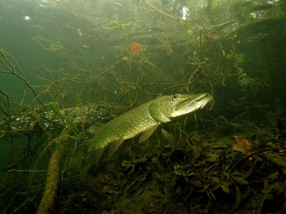 время работы фото рыб в российских водоемах серьги белым или