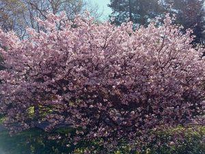 Фотогалерея цветущей сакуры в ботаническом саду Санкт-Петербурга. Ярмарка Мастеров - ручная работа, handmade.