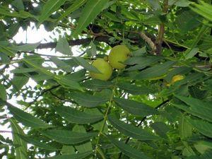 ЧЕРНОГО ОРЕХА гидролат листьев и молодых орешков. Ярмарка Мастеров - ручная работа, handmade.