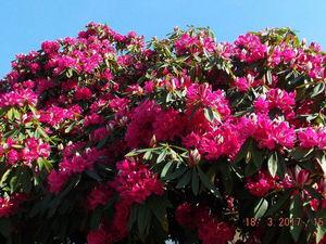 Вот и пришло время цветения рододендронов   Ярмарка Мастеров - ручная работа, handmade