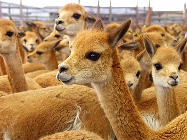 верблюжья шерсть, теплая шерсть, вязание крючком