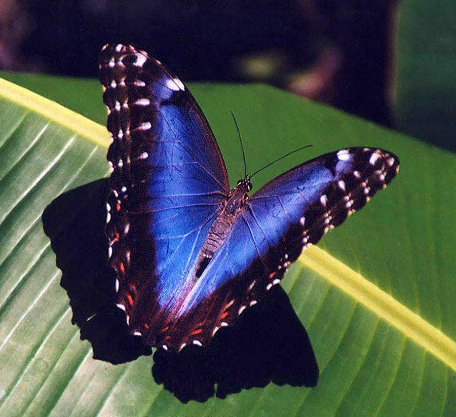 факты о бабочках, капустница