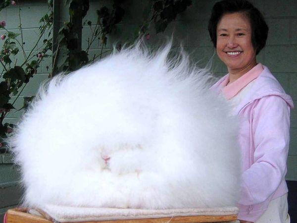 Ангорский кролик — пряжа и изделия из пуха ангорского кролика. Что такое ангора? | Ярмарка Мастеров - ручная работа, handmade