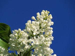 Белой сирени гроздья душистые... | Ярмарка Мастеров - ручная работа, handmade