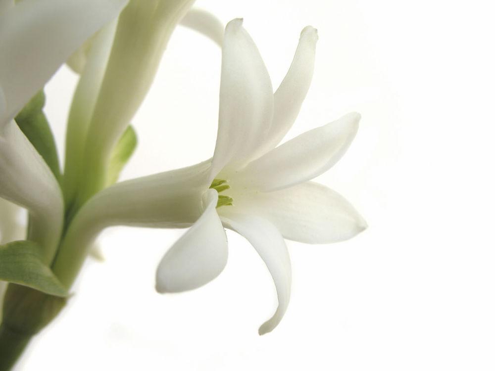 тубероза, духи, экзотика, цветы в духах, тропические цветы, odoratika