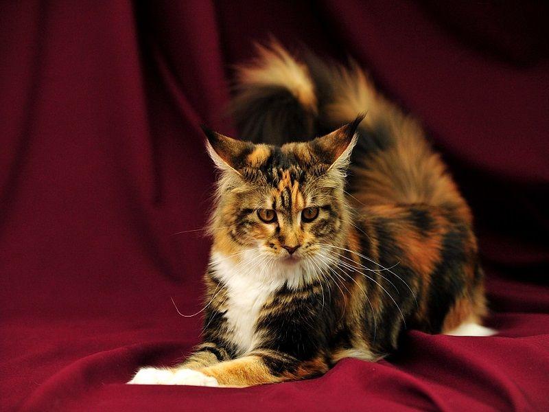 кошки мейн кун картинки преимуществ