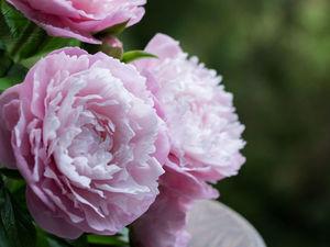 Букет розовых пионов. Ярмарка Мастеров - ручная работа, handmade.