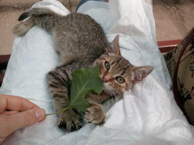 котенок, капелюшка ищет дом, капелька надежды, полосатый котёнок, капелюшка, котик кот, котик котенок, ищем добрые ручки, любящий дом, помощь котенку, взаимовыручка, котик ищет дом, любящие ручки