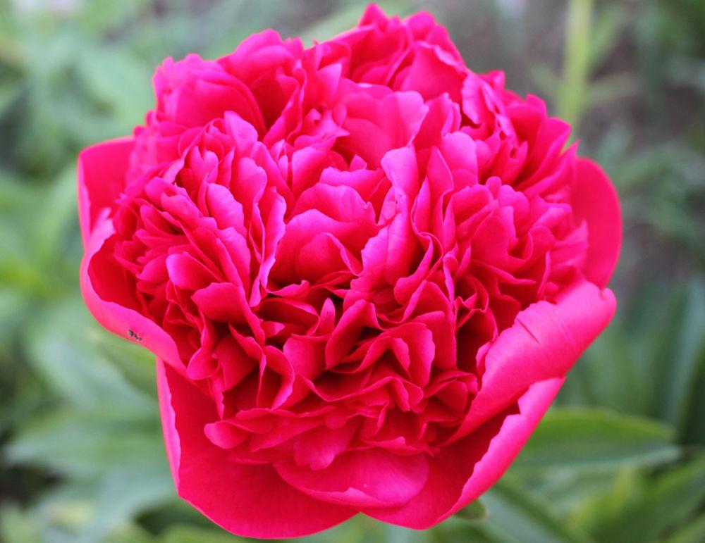 открытки, розы