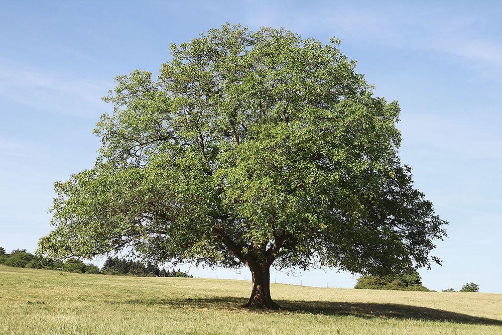 американский орех, характеристики дерева