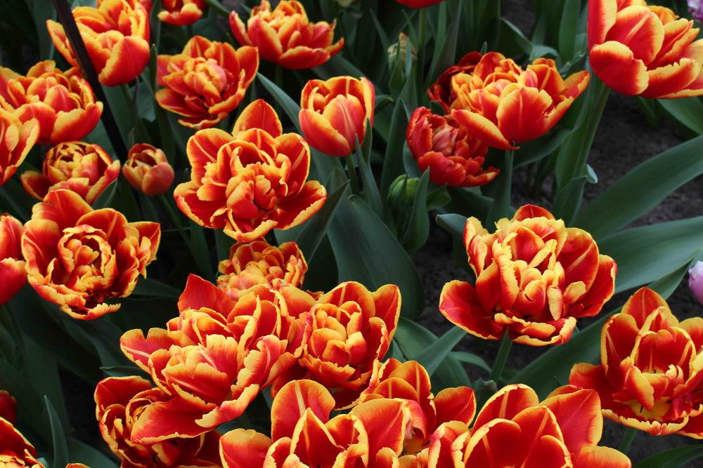 Креативные букеты из тюльпанов фото впечатление, что