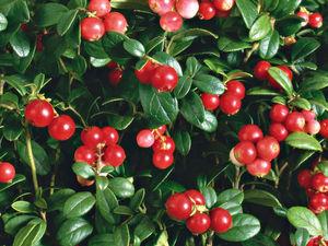 Брусника - лист и ягоды. Ярмарка Мастеров - ручная работа, handmade.