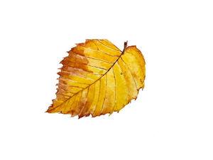 Рисуем акварелью «Осенний лист». Ярмарка Мастеров - ручная работа, handmade.