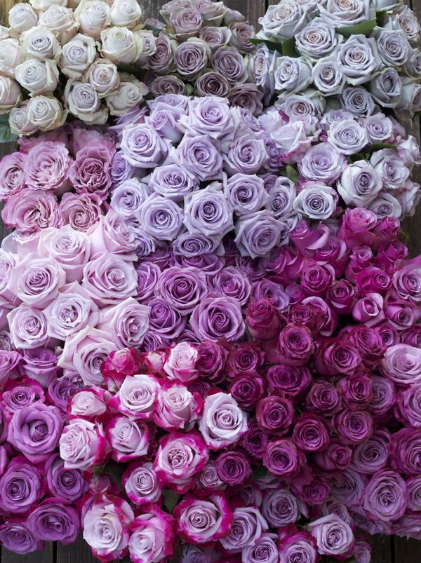 Color Study of Lavender and Purple Roses by Harvest Roses - <a href=