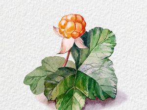 Рисуем акварелью ягоду морошку. Ярмарка Мастеров - ручная работа, handmade.