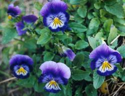 гороскоп, цветы, цветочный, лето, фиалка, характер, июль