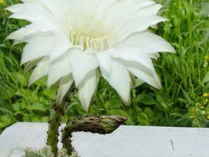 А у нас кактус зацвел... Вот! | Ярмарка Мастеров - ручная работа, handmade